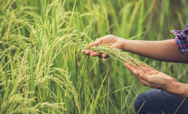 Researchers-Find-Contemporary-Arsenic-Compounds-In-Rice-Fields